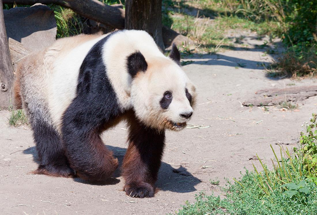 Венский зоопарк. Большая панда