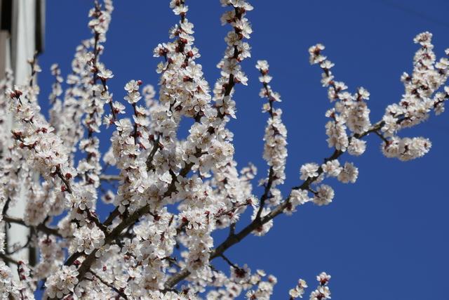 даже с балкона можно наслаждаться цветением абрикос, ветки тянутся прямо в окна, утром вокруг пчелы жужжат, а вечером аромат стоит пряный, душистый. весна несмотря ни на что...