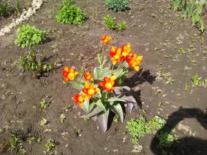 Тюльпаны оранжево-желтые