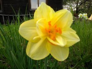 Нарцисс желтый на даче