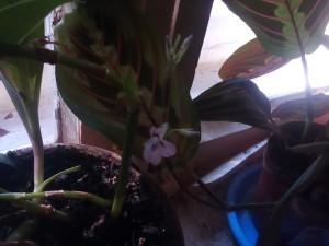 Маранта триколор цветет