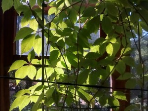 Виноград на балконе - 13 сент 2018