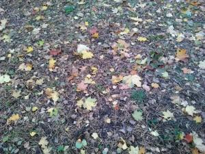 Осенние листья - клен, береза и иголки - 9 окт 2018