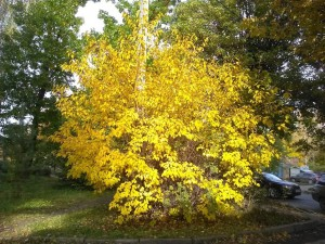 Дерево золотое напротив Женевы - 9 окт 2018