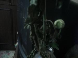 Бутон хризантемы - 3 нояб 2018