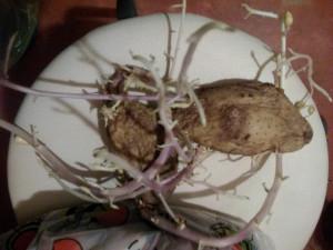 Картошка проросшая - 6 янв 2019