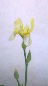 Ирис желтый около Дома Быта - Джей - 18 мая