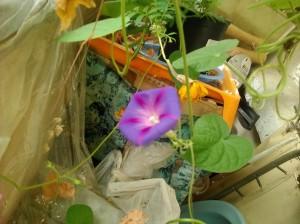 Ипомея цветет - 22 августа 2019