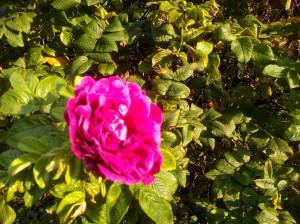 Шиповник розовый с прогулки Лютика - 8 сент 2019