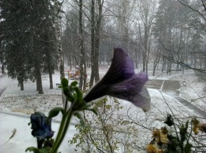 Петуния в снегу - 1 ноября