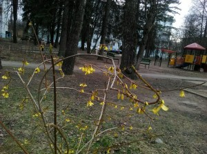 Цветущий золотой куст - 10 апреля 2020