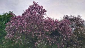 Яблони цветущие - 13 мая 2020