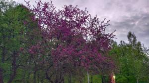 Яблони цветущие-2 - 13 мая 2020