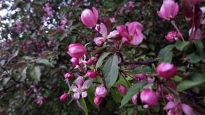 Яблони цветущие-3 - 13 мая 2020