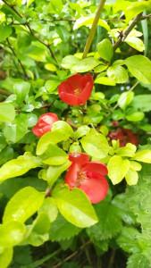 Айва японская цветы - 26 мая 2020