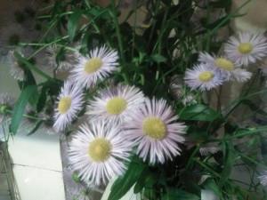 Хризантемы фиолетовые букет - 4 июля 2020