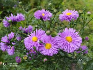 Хризантемы фиолетовые клумба - 4 сентября 2020