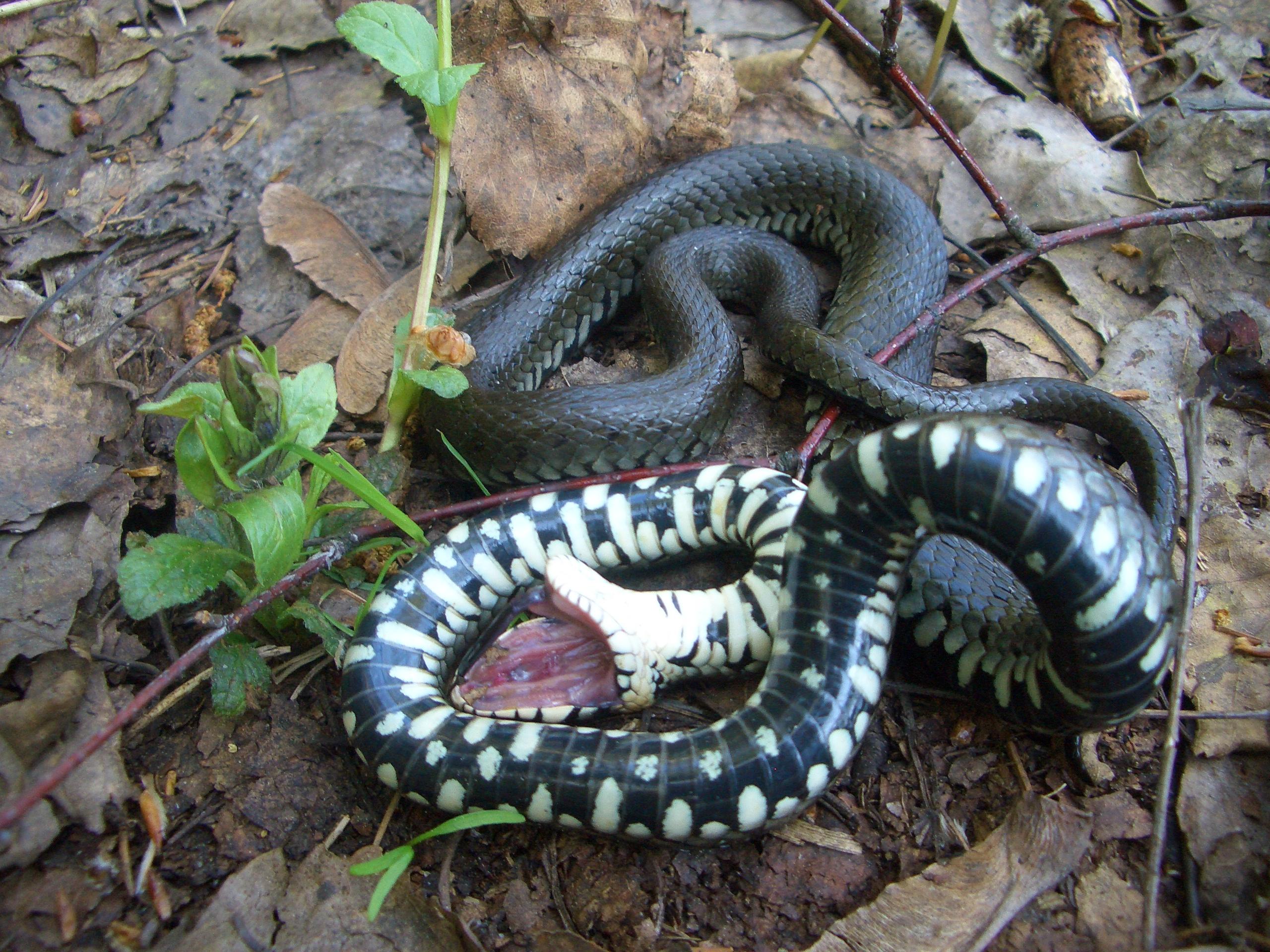 К чему снится змеи уж
