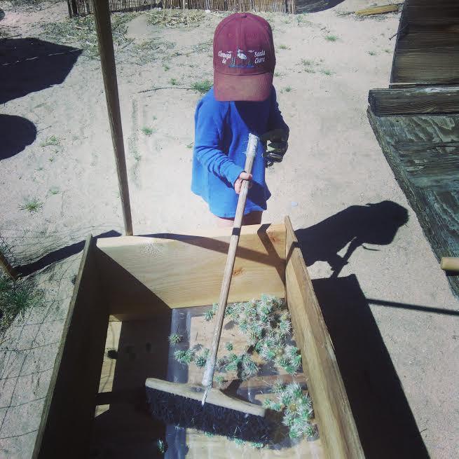 raking the chollas