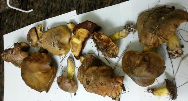 грибы 11.1.14-6
