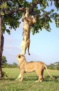 Animals - cooperation -Lions-CATERS_2666616k