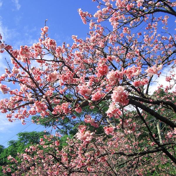 yaesakura_cherry_blossom_promo