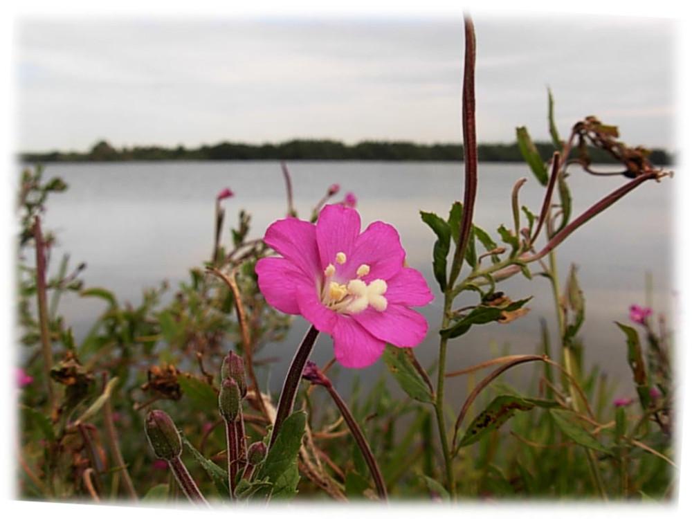розовый цветок у воды