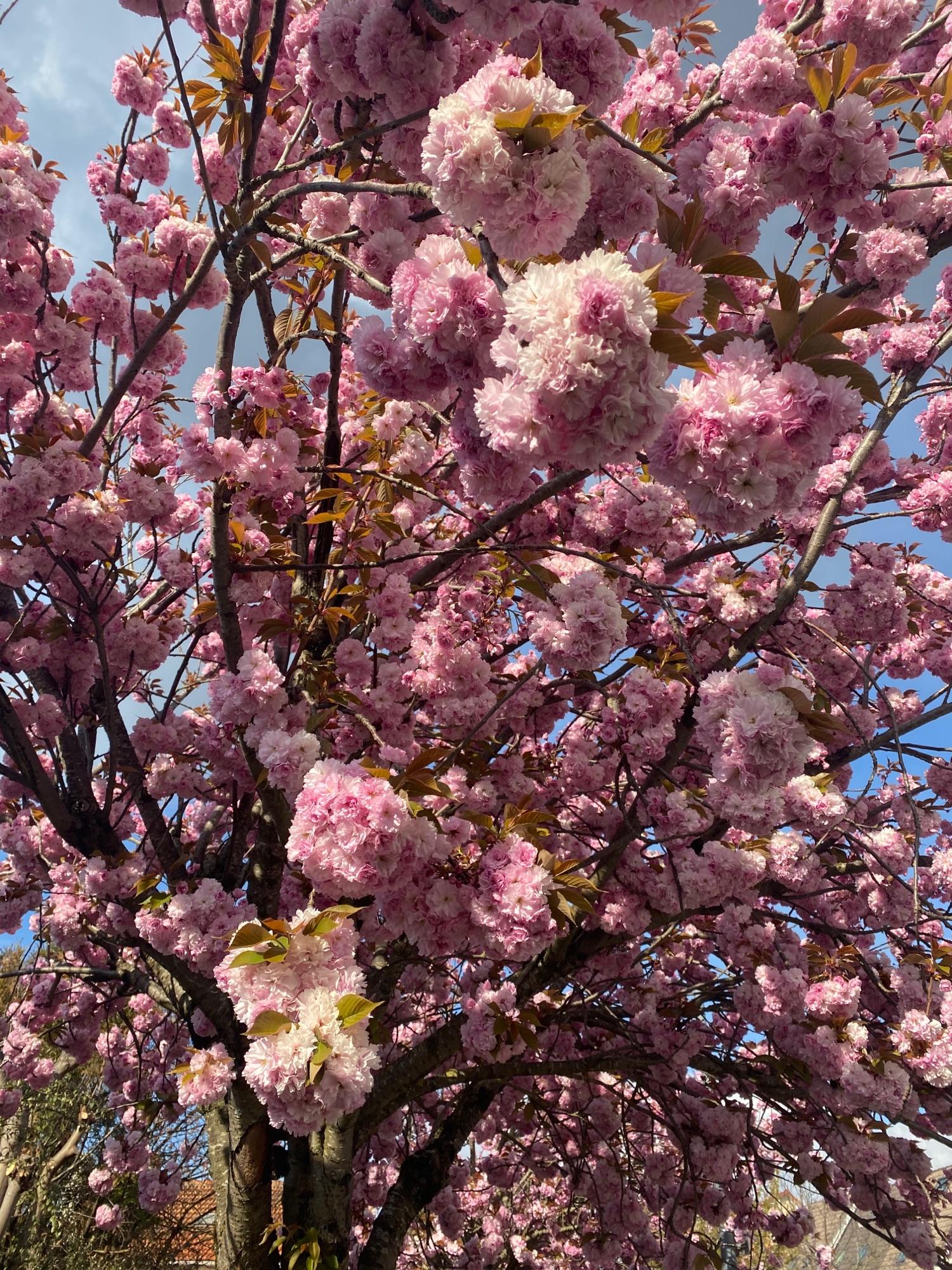 Сакура в цвету в Медоне