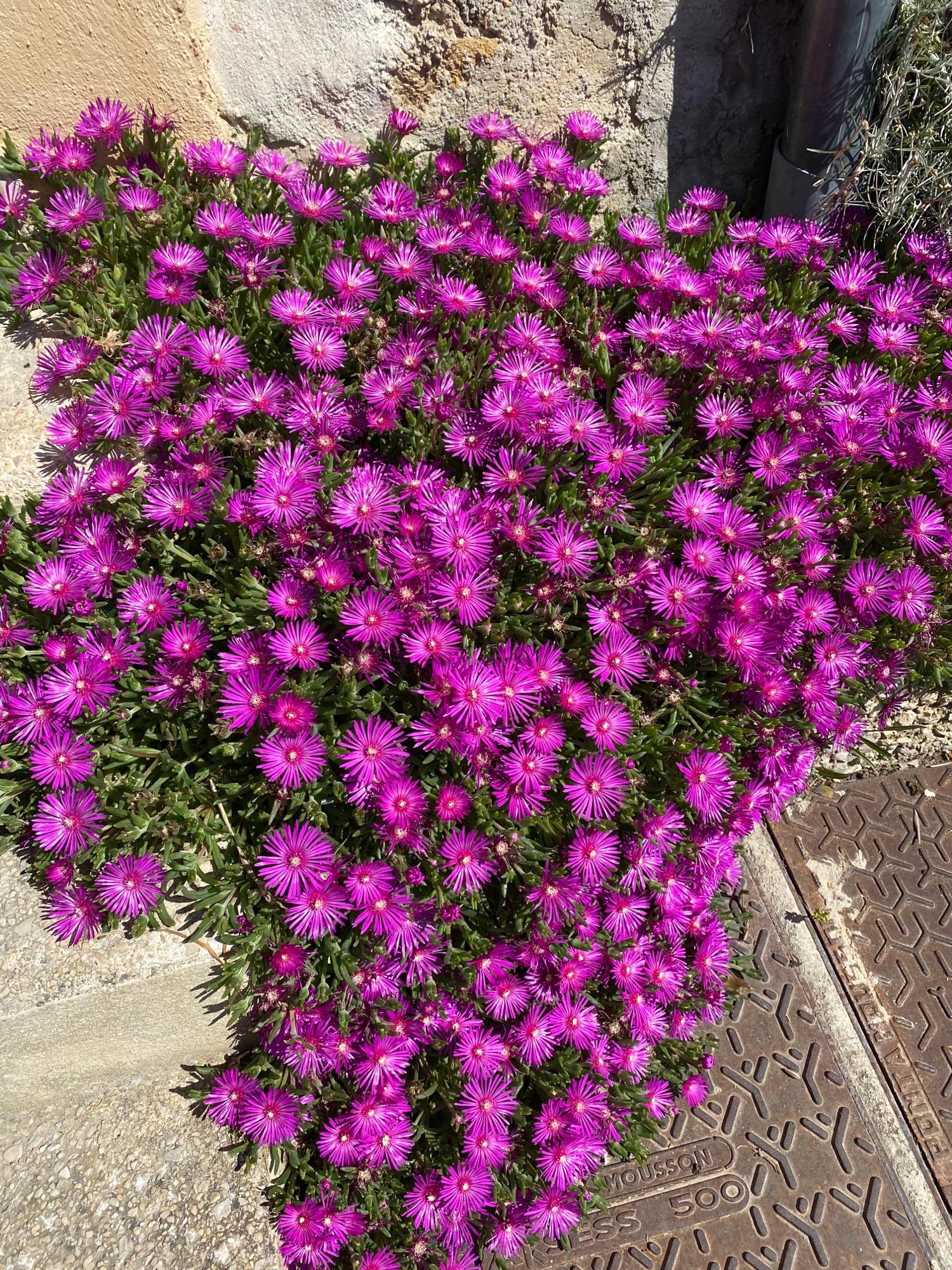 Это то растение, которое у Голсуорси растила Леди М, и ее садовники -портулак