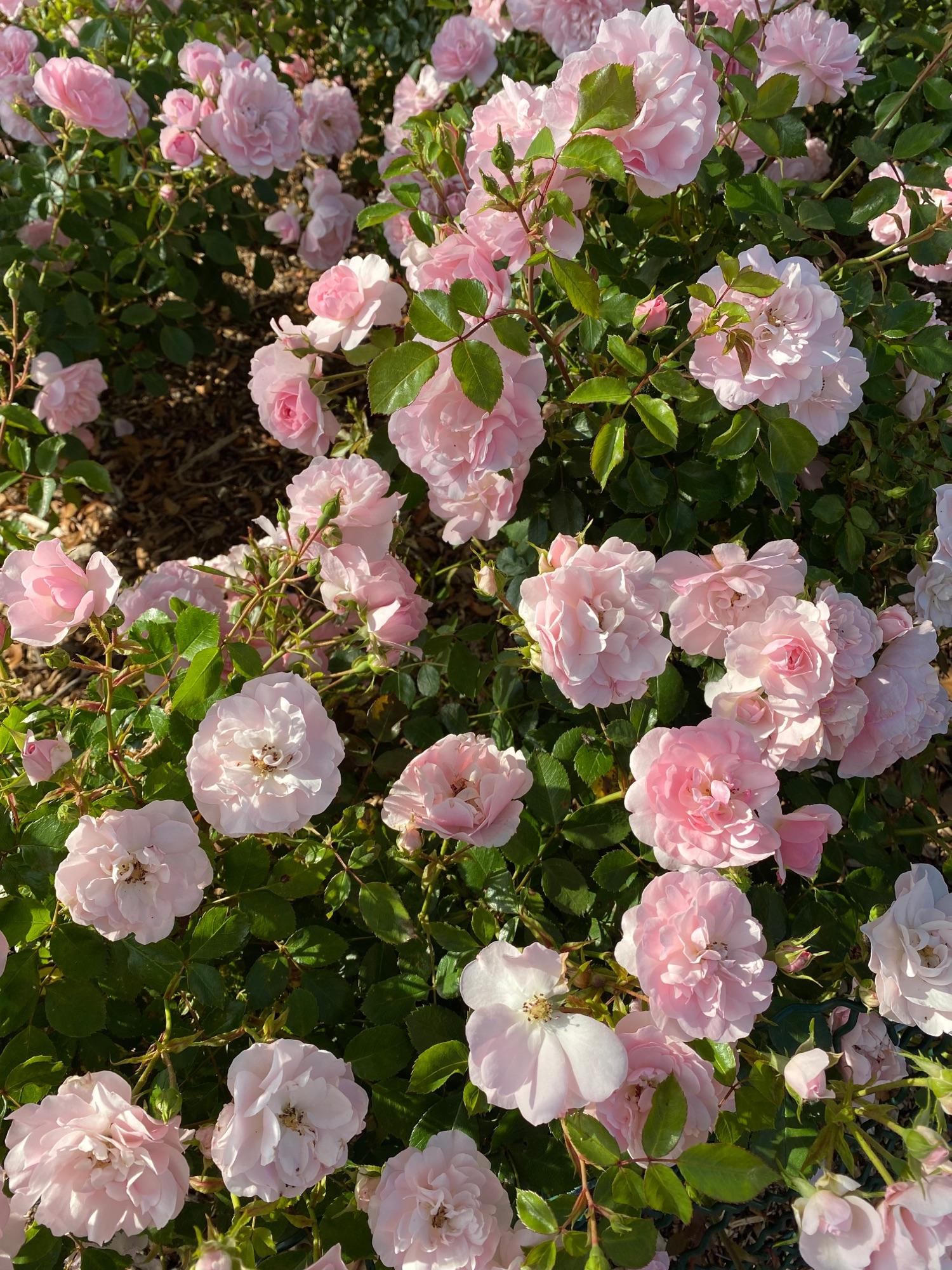 Розы везде