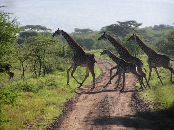 serengeti_migration_5