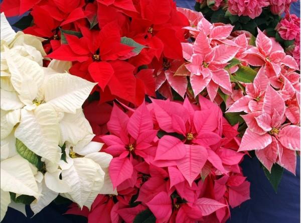 Пуансеттия - цветок рождественская звезда