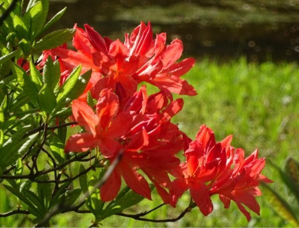 Японский сад в ГБС - цветение рододендронов