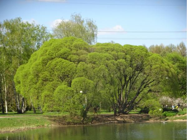 Деревья на опознание