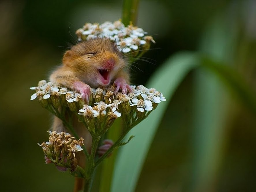 мышка-полёвка