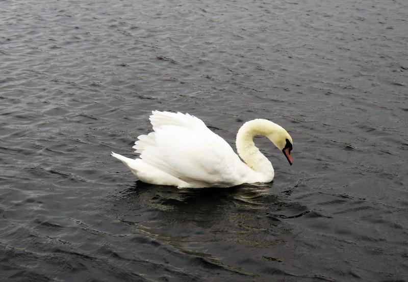 Лебединое озеро  в парке