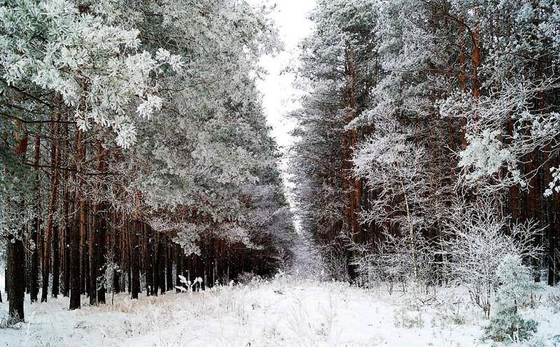 В сосновом лесу. Фото Фаины Кузнецовой