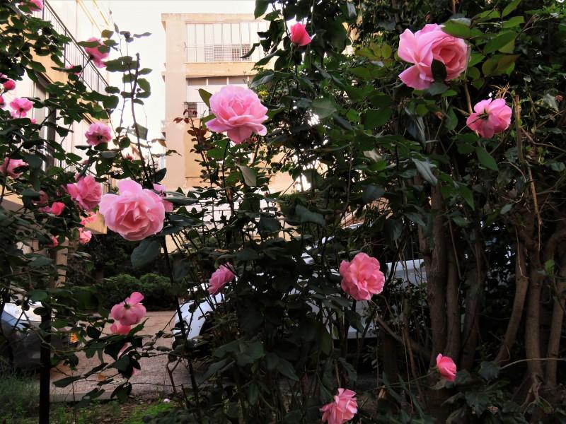 Розовый куст проснулся