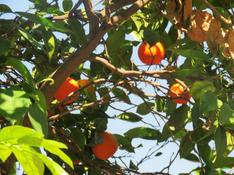 Солнечное апельсиновое дерево