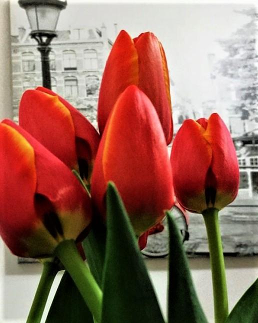 Скромные тюльпаны