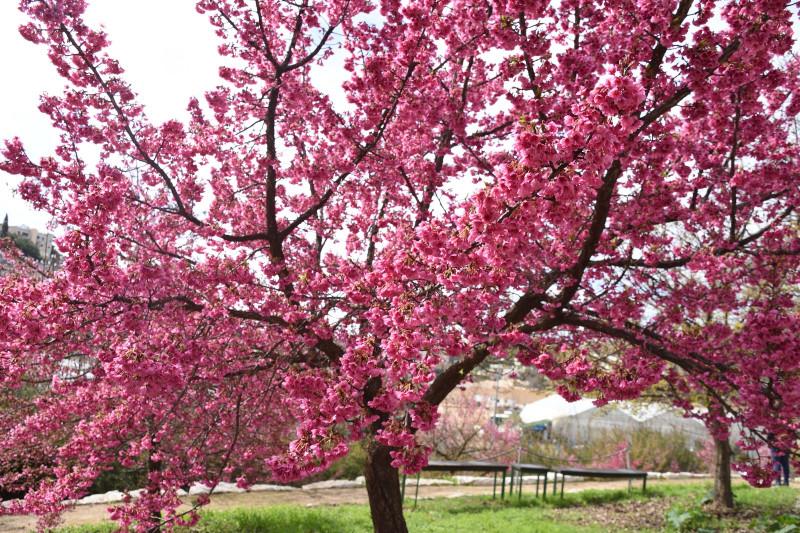 Цветение вишни в ботаническом саду. Фотограф Том Амит
