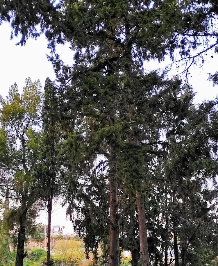 Вековые сосны на холме