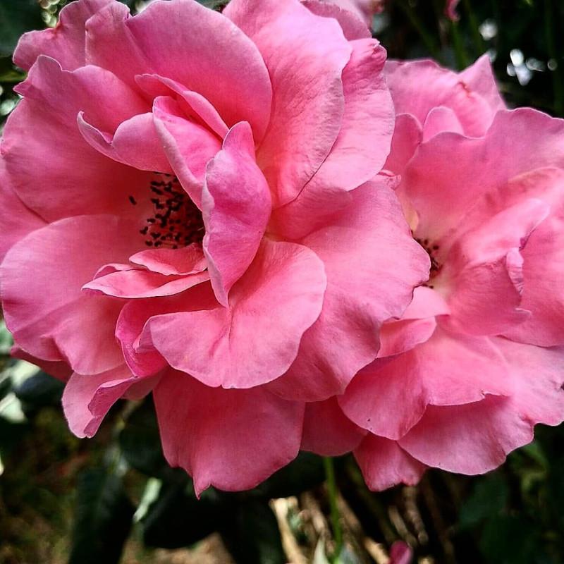 Август. Роза