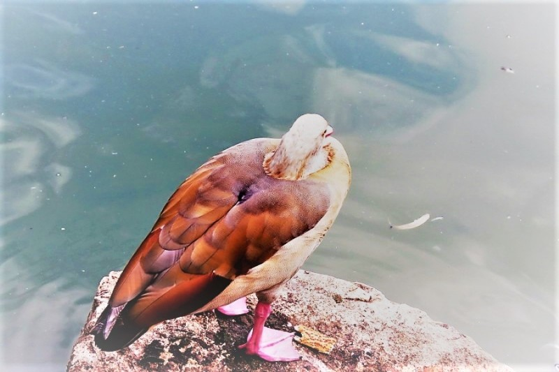 Нильский гусь в национальном парке