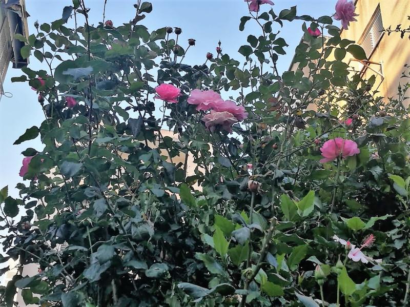 Просто куст роз