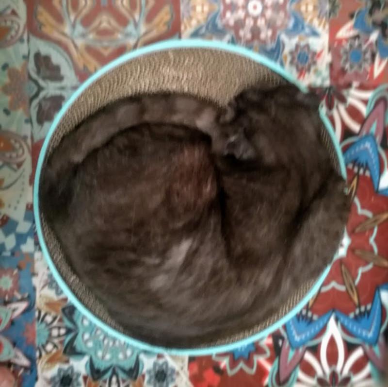 кот Гоша спит клубком