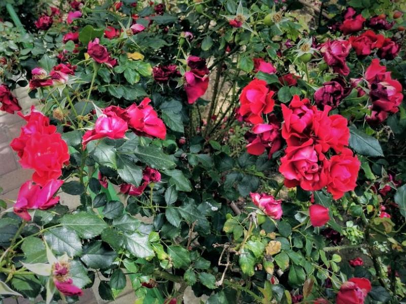целые заросли роз