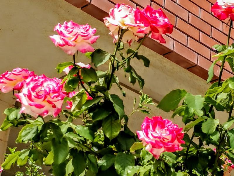 Белорозовые розы