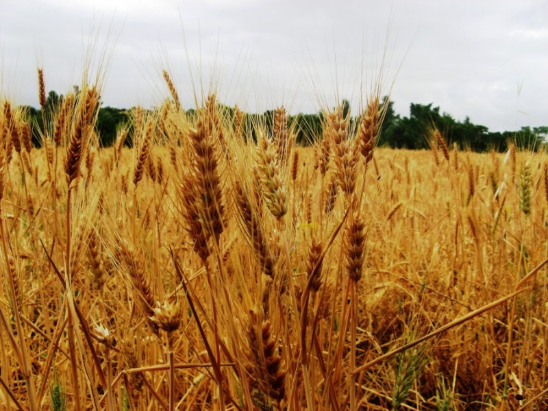 зреет пшеница