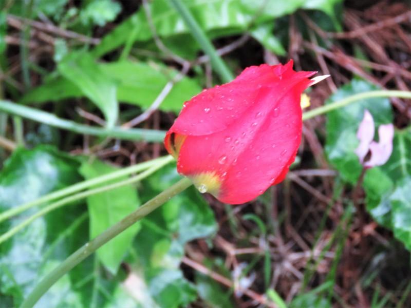 Тюльпан в капельках росы